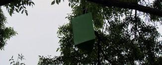 Agrile du frêne: La Ville continue le dépistage