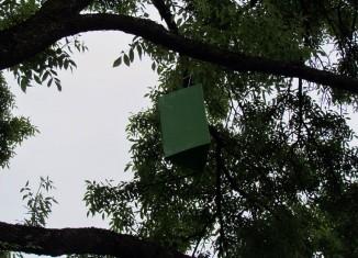 Agrile du frêne: Pas d'insecte détecté